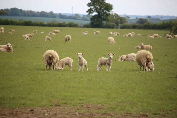 Romney ewes and lambs