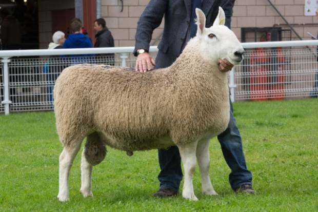 The top price, 7,000gns, went to a Border Leicester ram from Jim Brown, Scotland