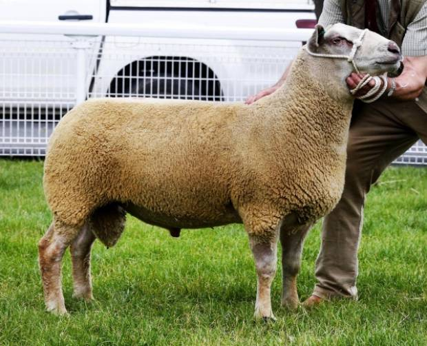 The top price,1,300 gns, went to Yorkshire Charollais breeders, C.W. Marwood and Son