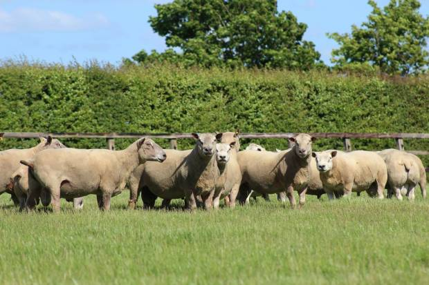 Focus on nutrition for newly purchased rams.