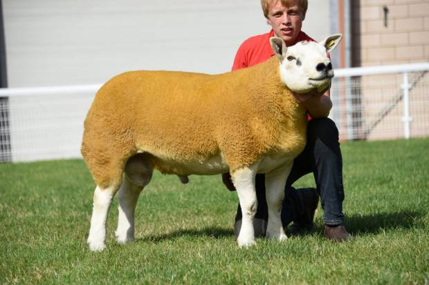Lot 225, Champion Texel, top price 1400gns, FH Chave & Son, Somerset..jpg