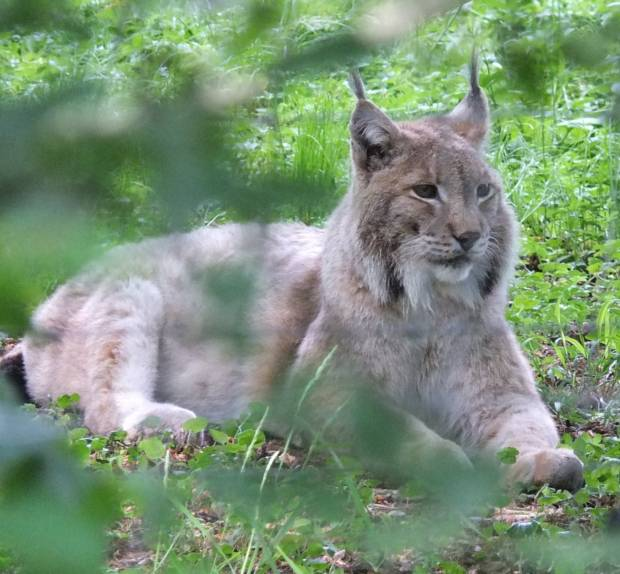 The European lynx