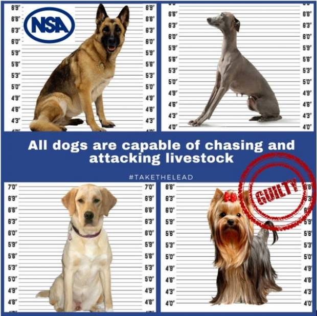 Strong impact of NSA campaign on sheep worrying – but action still needed to ensure responsible action by dog owners