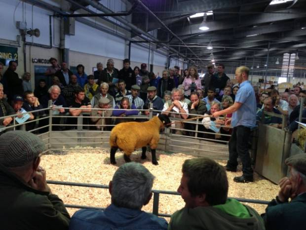 Top price, a new record, was 1,650gns for this Suffolk shearling ram from Robin Irwin.