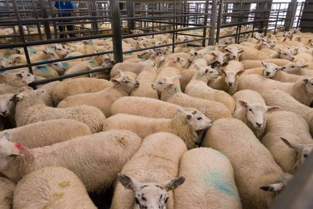 Covid-19 market disruption is now of serious concern for UK sheep sector
