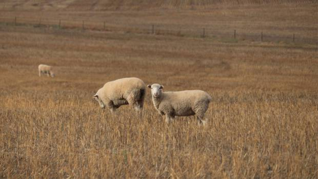 NSA issues stark warning of potential consequences of Australia deal to the UK's sheep industry