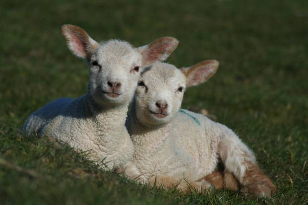 NSA 'Matchmakers' for the perfect lambing team