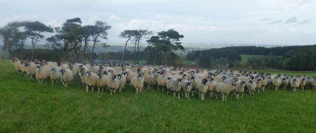 Misleading media messages about sheep farming needs to stop