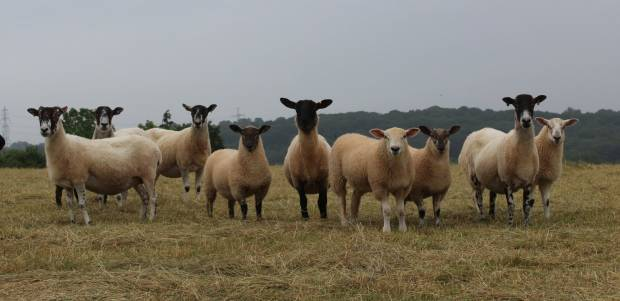 Sheep breed survey shows innovation as well as opportunities