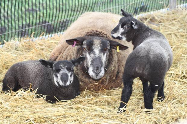 The joys of lambing shared through poetry