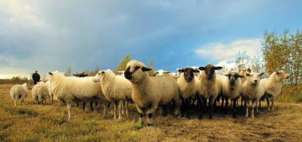 NSA expresses outrage at extreme threat to Northern Ireland sheep sector