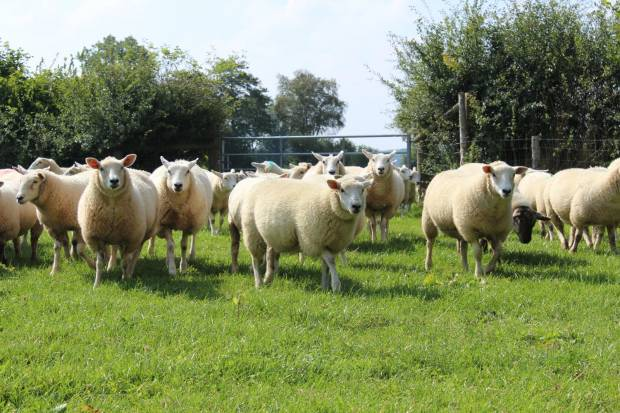 NSA update to media about the impact of Brexit on the UK sheep sector