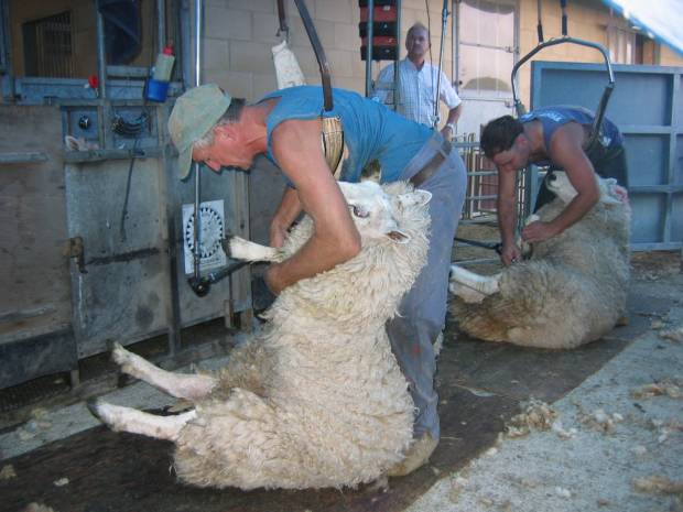 Sheep Industry adapts for Shearing 2020