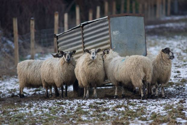 As Brexit dawns, NSA reminds Government of the needs of UK sheep farmers
