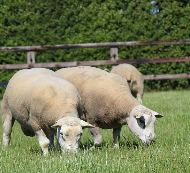 NSA urges sheep farmers to help sector understand ram longevity
