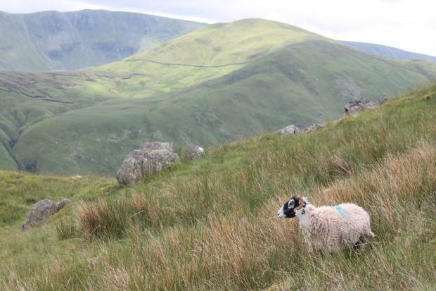 Sheep have a vital role in tackling climate change