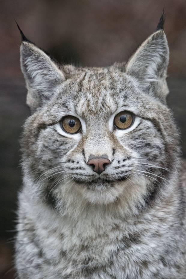 NSA celebrates Defra rejection of lynx release application