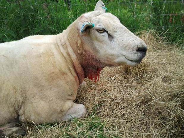 A ram with injuries to its throat.