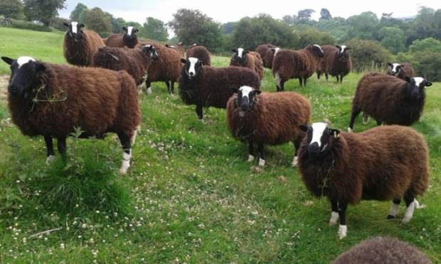 Charlotte's Balwen Welsh Mountain sheep.