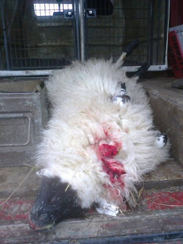An other of Mr Denniff's sheep, this time a young female, killed in an attack.