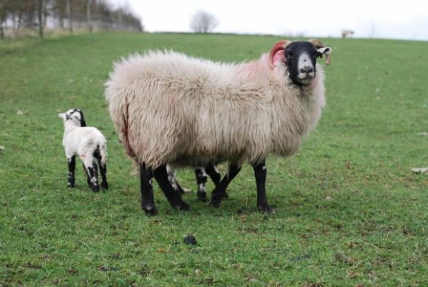 The same ewe, who later gave birth to twin lambs.