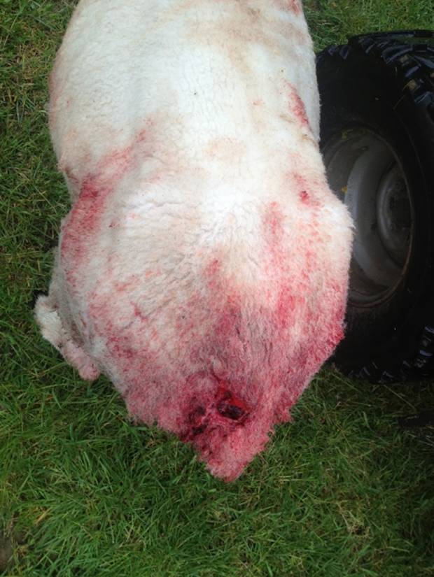 One of Mr Wood's ewes with a nasty bite to her rear.