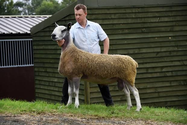 Quality Sheep Will Sell at NSA Wales & Border Main Ram Sale