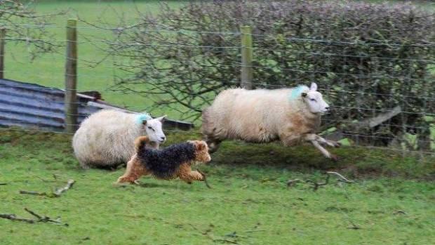 NSA Scotland seeks evidence and views on the Dogs (Protection of Livestock) (Amendment) (Scotland) Bill