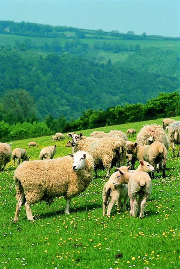 NSA highlights UK's potential for carbon neutral sheep farming