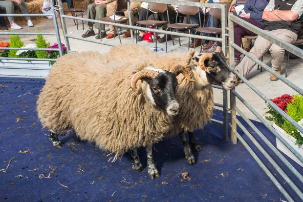 SHOW AND SALE OF EWE HOGGS A MAJOR FEATURE OF NSA SCOTSHEEP 2018