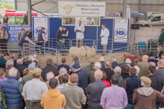 Sale of pairs of ewe hoggs at NSA Highlandsheep 2015