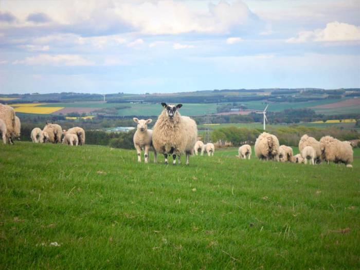 Over Finlarg Mule ewe hoggs with single lambs