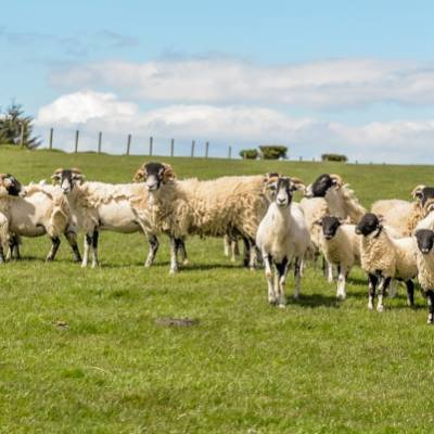 NSA North Sheep 2015