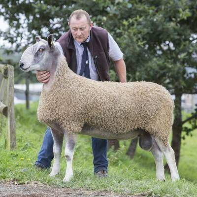 Lot 483 Bluefaced Leicester 3400gns