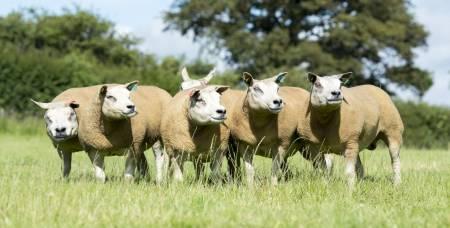 Beltex sheep