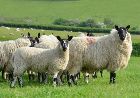 Beulah ewes and lambs