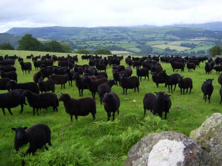 Black Welsh Mountain sheep