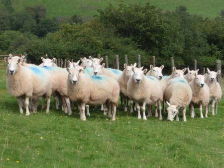 Brecknock ewes