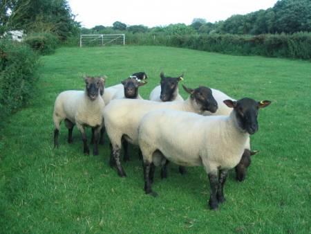 Sheep Breeds | National Sheep Association