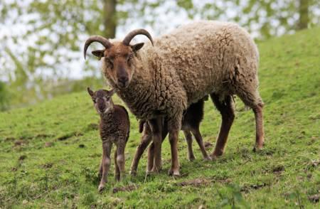 Castlemilk Moorit ewe and lamb