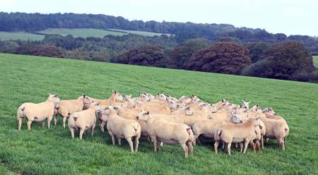 Charollais sheep