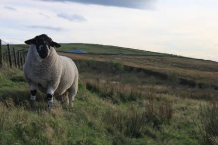 Derbyshire Gritstone Ram