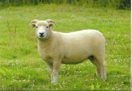Exmoor Horn ewe