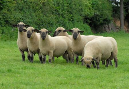Hampshire Down rams