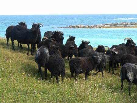 Hebridean ewes