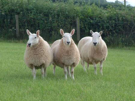 Llandovery Whiteface sheep
