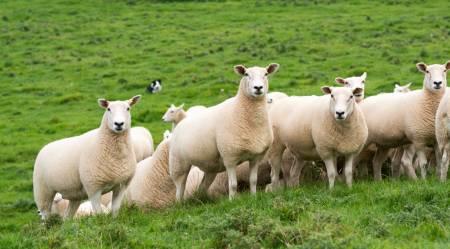 Lleyn sheep