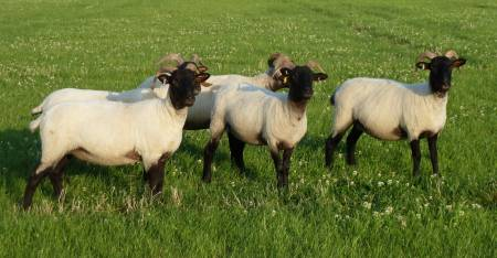 Norfolk Horn sheep
