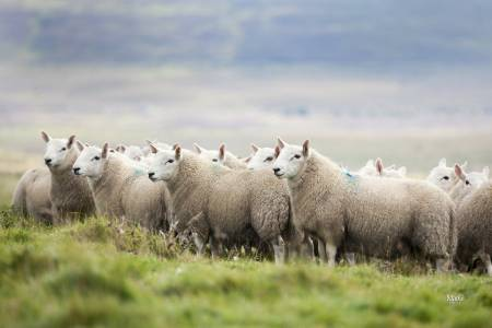 North County Cheviot sheep