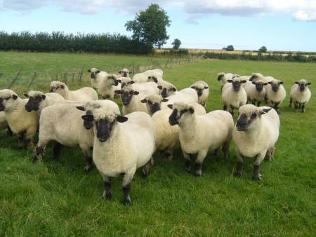 Oxford Down ewes